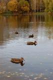 Enten auf einem Teich Lizenzfreie Stockfotos