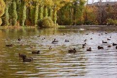 Enten auf einem Teich Stockbilder