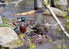 2 Enten auf einer Flussbank Stockbilder