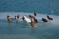 Enten auf Eis Lizenzfreies Stockbild