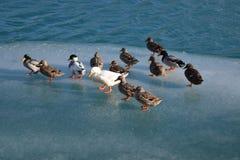 Enten auf Eis Lizenzfreie Stockfotografie