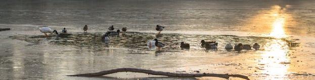 Enten auf gefrorenem Teich bei Sonnenaufgang Lizenzfreies Stockfoto