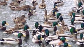 Enten auf See stock footage