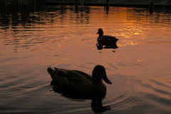 Enten auf See bei Sonnenuntergang Stockbild