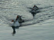 Enten auf Teich stockfoto