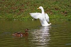 Enten auf Teich Stockbild