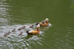 Enten auf Wasser Stockfotografie