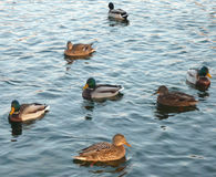 Enten auf Wasser Stockfotos