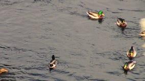Enten auf Wasser stock footage