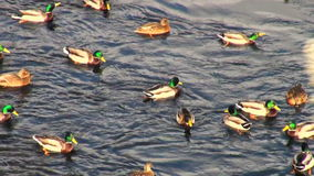 Enten auf Wasser stock video footage