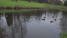 Enten auf Wasser im Stadtparkteich Wildenten im See Wilde Gänse Enten auf Wasser am Tag enten stock video