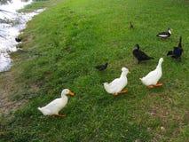 Enten bilden eine Linie Lizenzfreie Stockfotografie