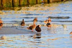 Enten am Bucht-Rand bei Sonnenaufgang Lizenzfreies Stockfoto