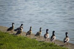 Enten in der Reihe, die über See schaut Lizenzfreie Stockfotos