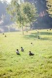 Enten, die auf das Gras gehen Lizenzfreie Stockfotos