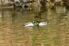 Enten, die auf dem Wasser kämpfen Stockfotografie