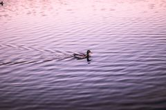 Enten, die auf dem Wasser schwimmen Lizenzfreie Stockfotografie