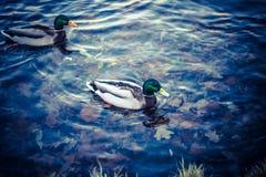 Enten, die auf dem Wasser schwimmen Lizenzfreie Stockfotos