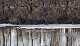 Enten, die auf den Fluss schwimmen Stockbild