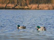 Enten, die auf den See schwimmen Stockfoto