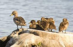 Enten, die auf einem Baumstamm stillstehen Stockbild