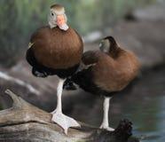 Enten, die auf einem Klotz sitzen Lizenzfreies Stockbild