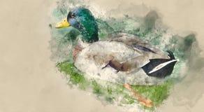 Enten, die auf einem Teich schwimmen Stockfotos
