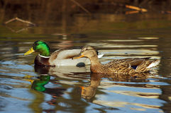 Enten, die auf einen Teich schwimmen Lizenzfreies Stockbild
