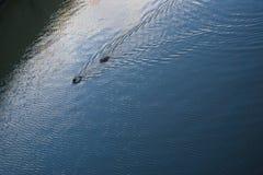 Enten, die auf Teichzusammenfassungs-Reflexionskräuselungen schwimmen stockfoto