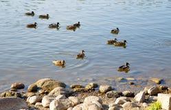 Enten, die auf Wasser schwimmen Lizenzfreies Stockfoto