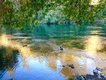 Enten, die blauen Nebenfluss des haarscharfen Aqua unter großen Bäumen schwimmen lizenzfreie stockfotos