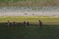 Enten, die in den Fluss schwimmen Lizenzfreies Stockbild