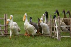 Enten, die den Zaun junping sind Lizenzfreies Stockbild