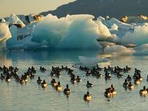Enten, die in der Gletscherlagune schwimmen lizenzfreies stockfoto