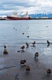 Enten, die durch Sand von Dalvik-Hafen in Nord-Island gehen Stockbilder