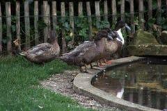 Enten, die durch Teich sitzen stockbilder