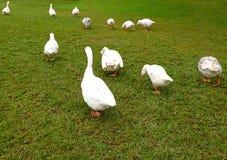 Enten, die in ein rohes gehen stockbild