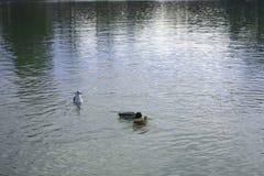 Enten, die in einem blauen See essen lizenzfreie stockbilder