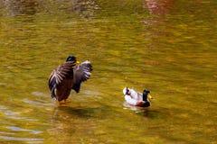 Enten, die in einem schönen See schwimmen Grüner Hintergrundsee Lizenzfreie Stockfotografie
