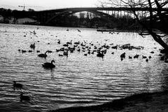 Enten, die in einem See schwimmen Stockfoto