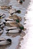 Enten, die an einem Seerand essen Lizenzfreies Stockfoto