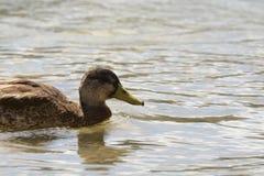 Enten, die einen heißen Sommer auf dem See baden stockbilder