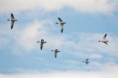 Enten, die in Himmel fliegen Lizenzfreies Stockfoto