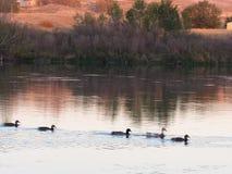 Enten, die im Fluss schwimmen Stockfoto