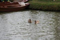 Enten, die im Fluss schwimmen lizenzfreie stockbilder