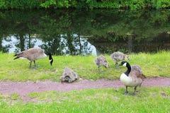 Enten, die im Fluss spielen Stockbild