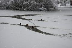 Enten, die im gefrorenen Wasser in Jephson-Gärten, Leamington-Badekurort, Großbritannien - Winterlandschaft, am 10. Dezember 2017 Lizenzfreie Stockbilder