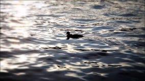 Enten, die im See Bleds bei Sonnenuntergang schwimmen stock video