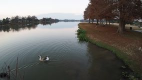 Enten, die an LSU-See schwimmen stock video