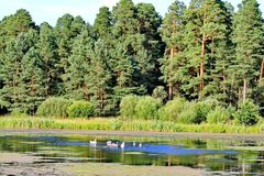 Enten, die mitten in einem Teich überwältigt mit Seerosen mit den hohen, dichten Kiefern wachsen auf dem Ufer schwimmen Lizenzfreies Stockfoto